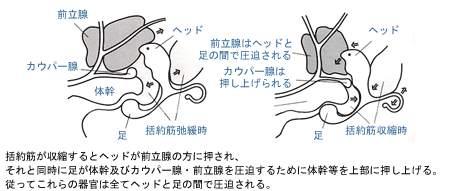前立腺を刺激するのはアネロスのヘッド部だけとは限らない。アネロスと前立腺の位置の関係