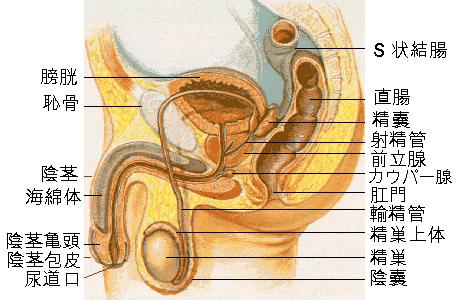 前立腺に「圧迫感」を与えるアナルオナニーの気持ち良さと楽しみ方